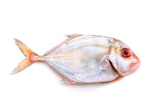 Silver Trevally Stock Photos