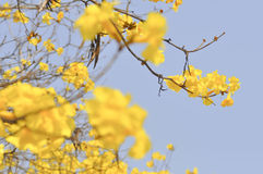 Silver trumpet flower, Tree of gold or Paraguayan silver trumpet Royalty Free Stock Image