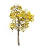 Silver trumpet tree royalty free stock photos