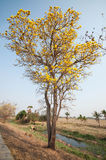 Silver trumpet tree (Tabebuia aurea) Stock Photography