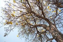 Silver trumpet tree (Tabebuia aurea) Royalty Free Stock Image