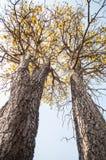 Silver trumpet tree (Tabebuia aurea) stock image
