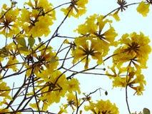 Silver trumpet tree stock image