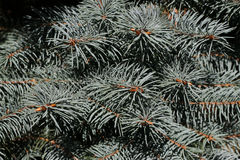 Silver twigs. Of young conifers Royalty Free Stock Images