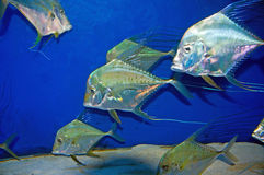 Selene Vomer fish at Melbourne Aquarium Stock Photos