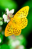 Silver washed Fritilary on blackberry blossom Royalty Free Stock Images