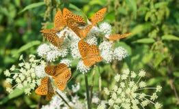 Silver-washed fritillaries group. Argynnis paphia. Ground elder flower. Aaegopodium podagraria royalty free stock photo