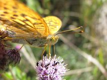 Silver-washed Fritillary Stock Images