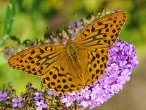 Silver Washed Fritillary. (Argynnis paphia) on a butterfly-bush (buddleja davidii). Shallow DOF Stock Photos