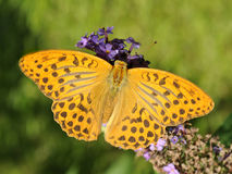Silver Washed Fritillary Stock Photos