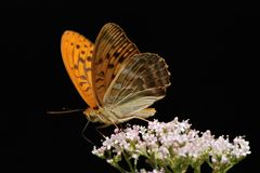 Silver-washed Fritillary Royalty Free Stock Photography