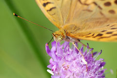 Silver-washed fritillary. (Argynnis paphia)on a flower of  field scabious Stock Image