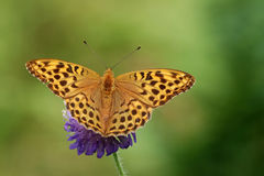 Silver-washed fritillary. (Argynnis paphia)on a flower of  field scabious Royalty Free Stock Photo