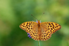Silver-washed fritillary Royalty Free Stock Photo