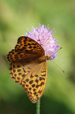 Silver-washed fritillary. (Argynnis paphia)on a flower of  field scabious Royalty Free Stock Image
