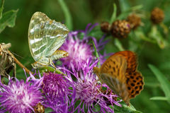 Silver-washed fritillary Royalty Free Stock Images
