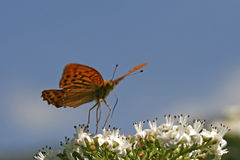 Silver-washed Fritillary (Argynnis paphia) Royalty Free Stock Photography