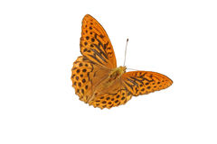 Silver-washed Fritillary (Argynnis paphia) Stock Photography
