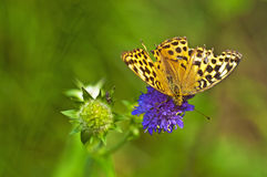 Silver-washed fritillary, Argynnis paphia Royalty Free Stock Photo
