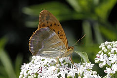 Silver-washed fritillary (Argynnis paphia) Royalty Free Stock Photos