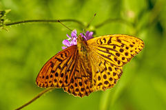 Silver-washed fritillary,Argynnis paphia Stock Photos