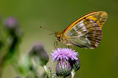 Silver-washed Fritillary (Argynnis paphia) Stock Images