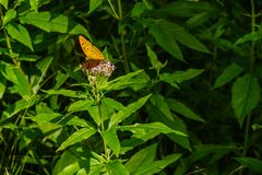 Silver-washed fritillary, Argynnis paphia, on a blooming flower stock photography