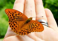 Silver-washed fritillary Argynnis paphia royalty free stock photos