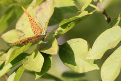 Silver-washed Fritillary / Argynnis paphia Royalty Free Stock Photography
