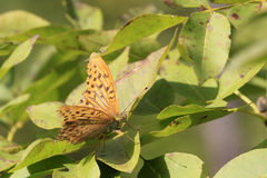 Silver-washed Fritillary / Argynnis paphia Stock Images