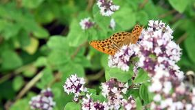 Silver Washed Fritillary stock footage