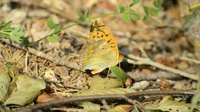 Silver-washed fritillary, Argynnis paphia stock video