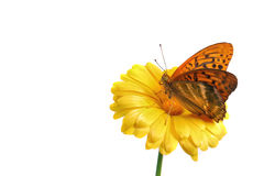 Free Silver Washed Fritillary Butterfly Stock Images - 21154424