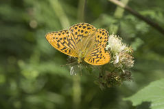 Silver washed fritillary butterfly Royalty Free Stock Image
