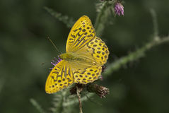 Silver washed fritillary butterfly Stock Photos