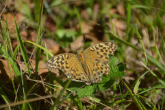 Silver-washed fritillary Stock Photography