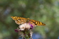 Silver washed fritillary butterfly Royalty Free Stock Photography