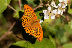 Silver washed fritillary butterfly Argynnis paphia. A silver washed fritillary butterfly Argynnis paphia on a flower Stock Photography