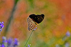 Silver washed Fritillary Butterfly on Lavender, Var, France. Argynnis paphia Royalty Free Stock Image