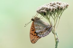 The silver-washed fritillary butterfly royalty free stock image