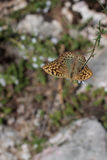 Silver-Washed Fritillary Butterfly Sitting on Flower. Hungary stock image