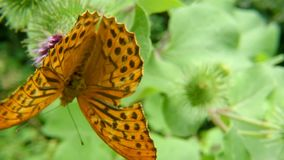 Silver-washed fritillary butterfly on a thistle flower.  stock video