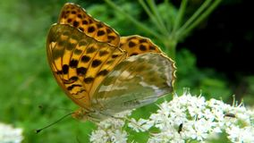 Silver-washed fritillary butterfly on a thistle flower.  stock video footage