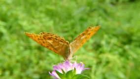 Silver-washed fritillary butterfly on a thistle flower. In Germany stock video footage