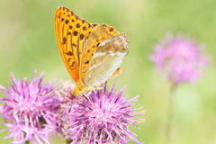 Silver-washed fritillary Stock Image
