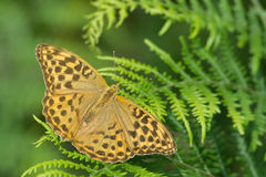 Silver-Washed-fritillary female butterfly Stock Image