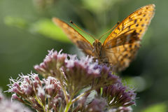 Silver-washed fritillary front view Royalty Free Stock Photography
