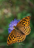 Silver-washed Fritillary on a Knautia flower Royalty Free Stock Photography
