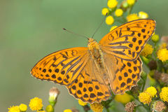 Silver-Washed-fritillary male butterfly Stock Image