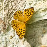 Silver-washed Fritillary on a rock stock image